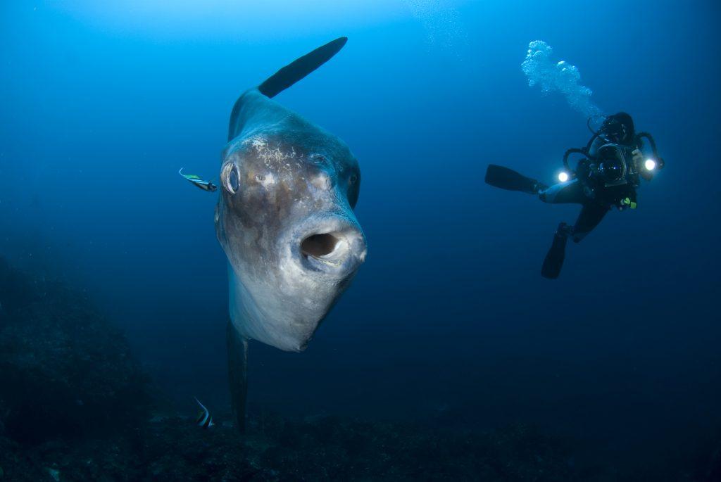 scuba divers love taking photos of mola mola